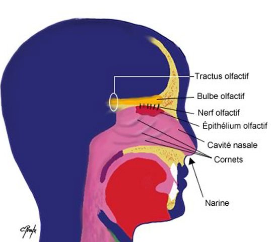 The olfactory apparatus, how does it work exactly?